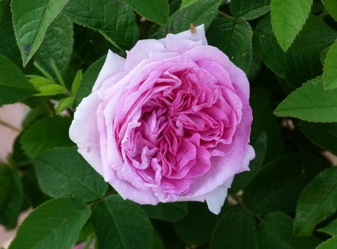 роза - Сентифолия в долине Грасса