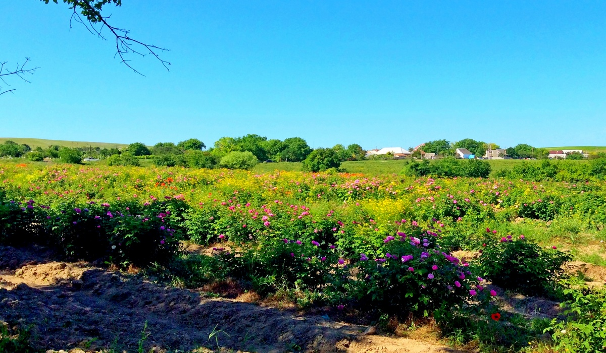 Поля цветущей розы - Крым