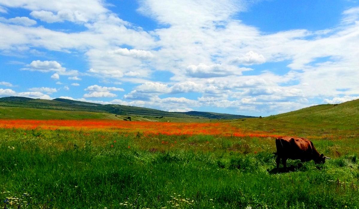 Корова в поле цветущих маков