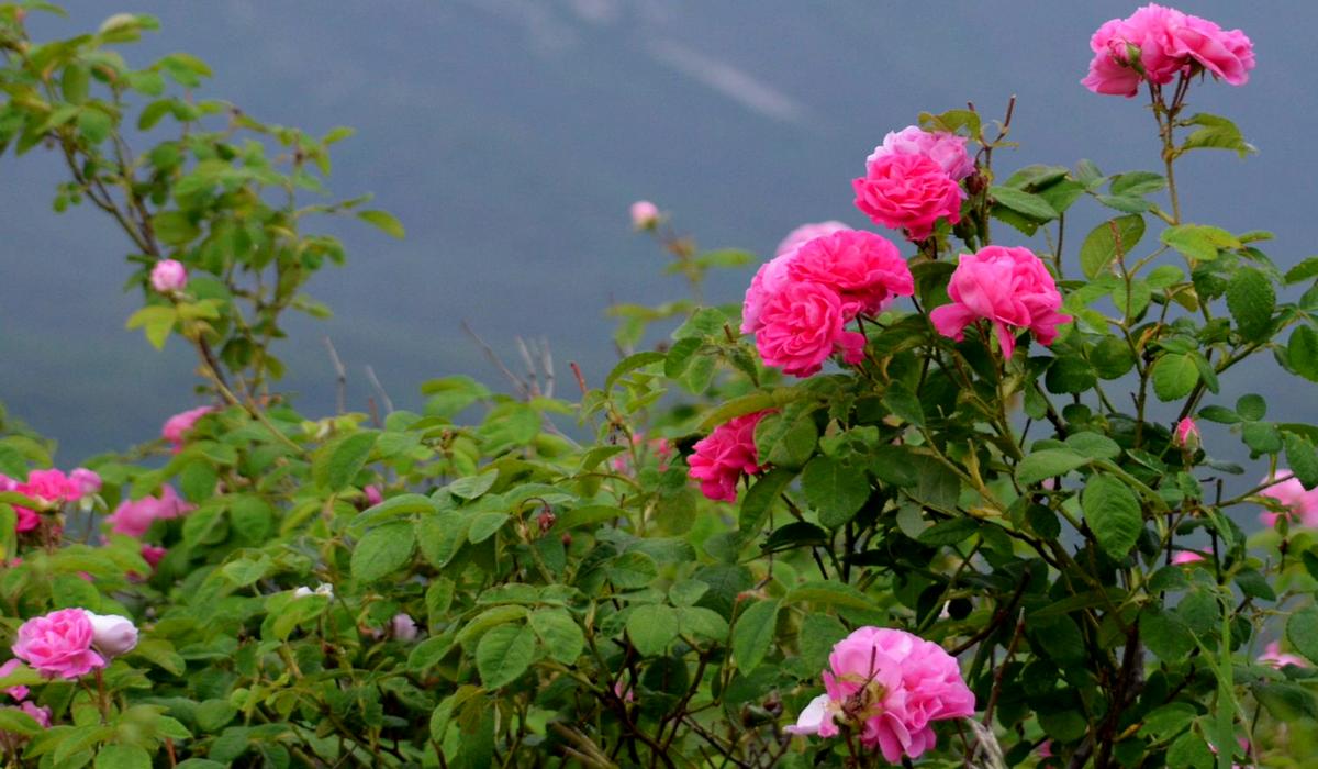 Розы - Крым