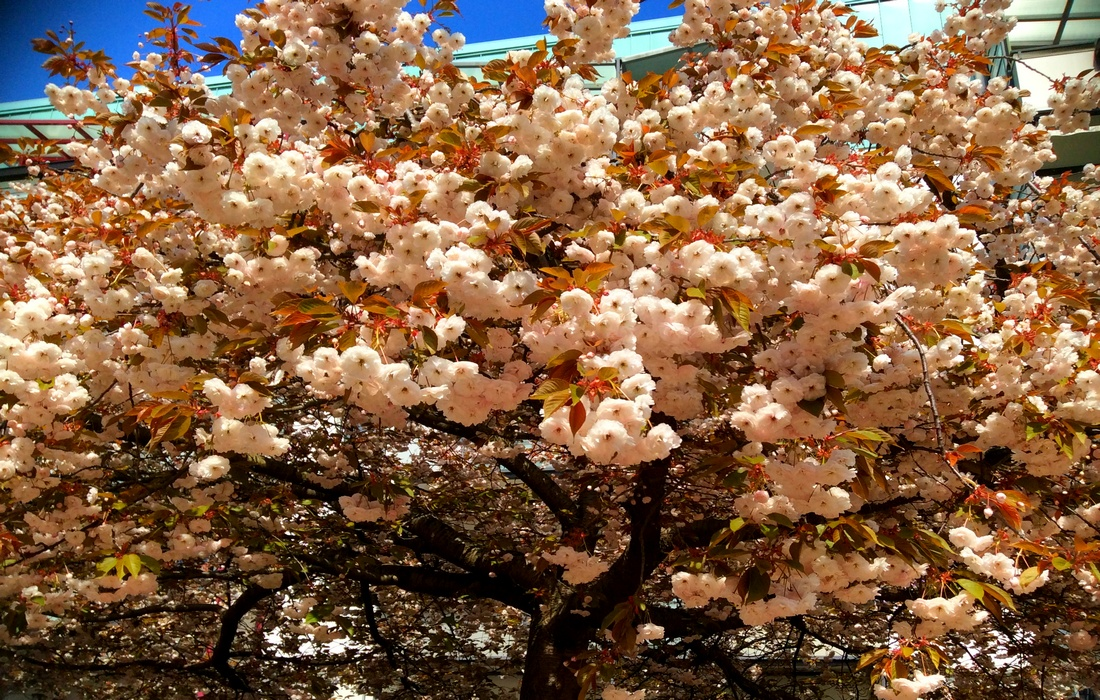 цветущая сакура - Германия