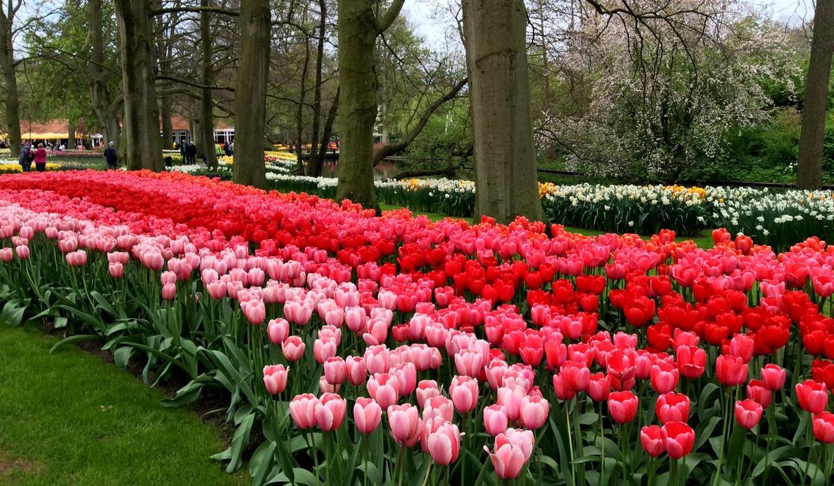 тюльпаны - голландия