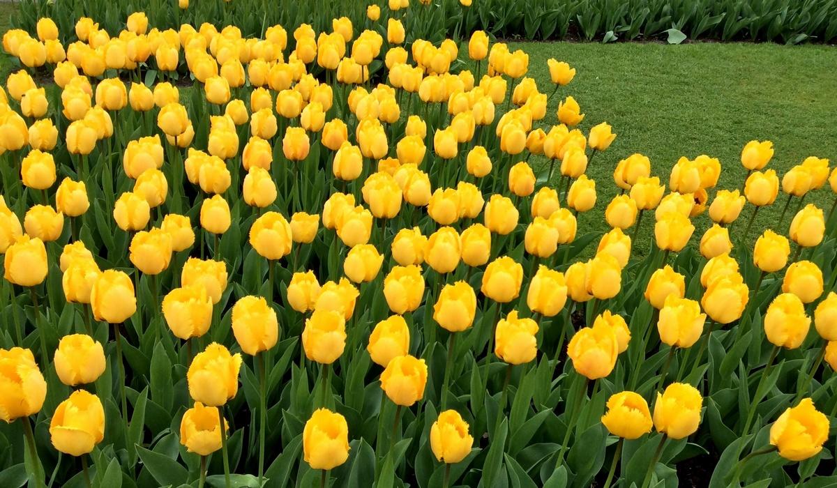 желтые тюльпаны - Кекенхоф