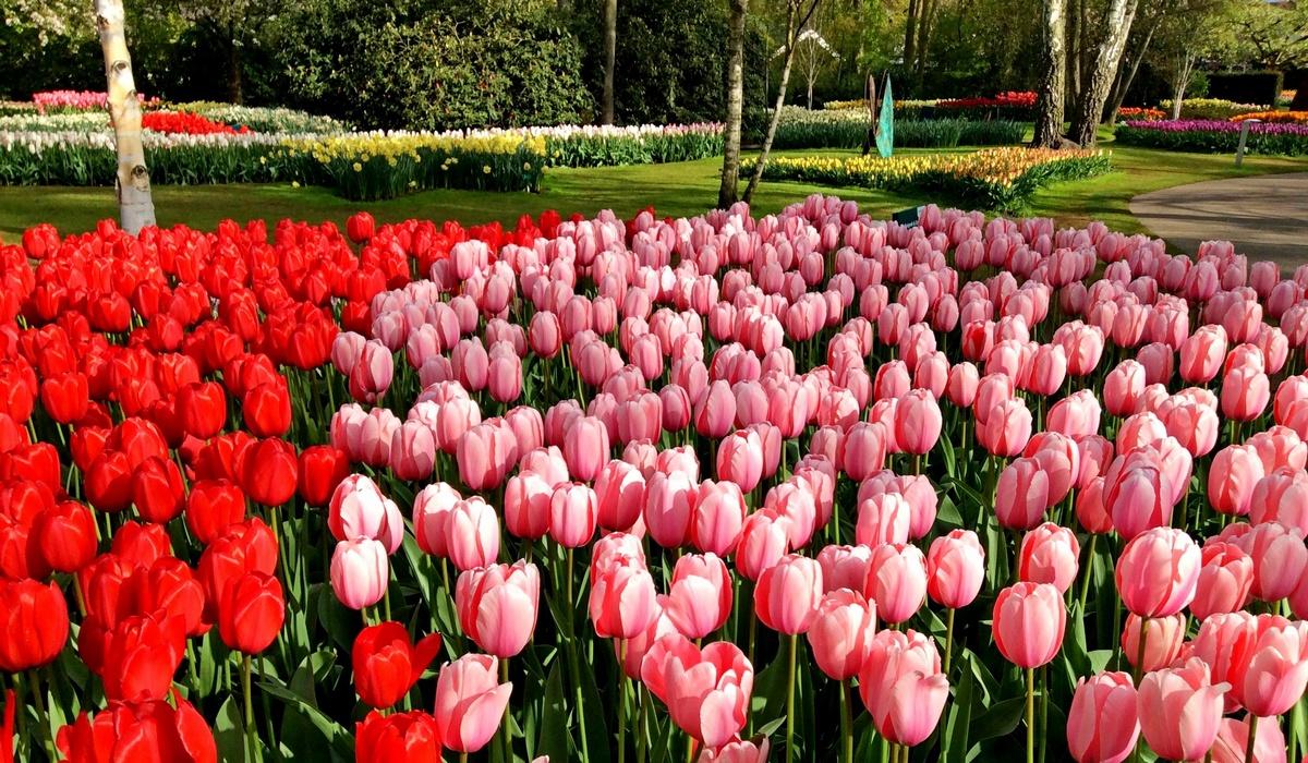 тюльпаны в парке Кёкенхоф