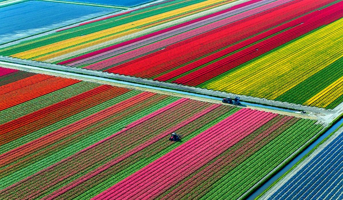 поля тюльпанов - вид сверху