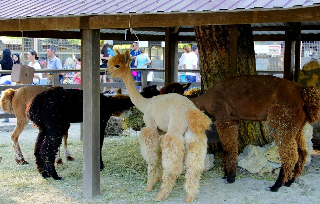Зоопарк-Бахчисарай, Ламы