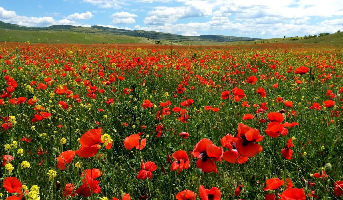 цветущие поля маков - Крым
