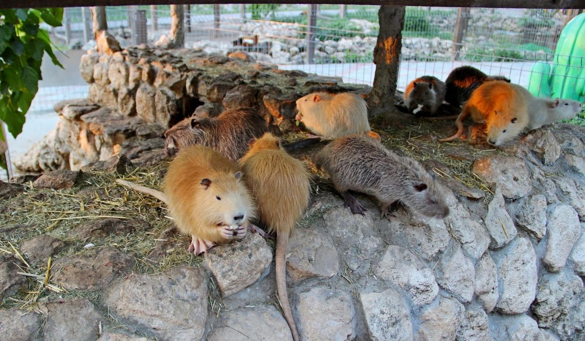 Зоопарк-Бахчисарай, нутрии