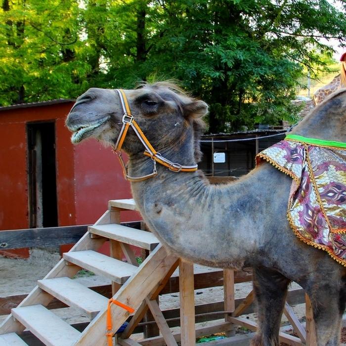 Зоопарк-Бахчисарай, верблюд плюющийся