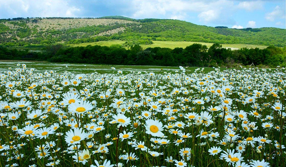 Цветение ромашек в Байдарской долине - Крым
